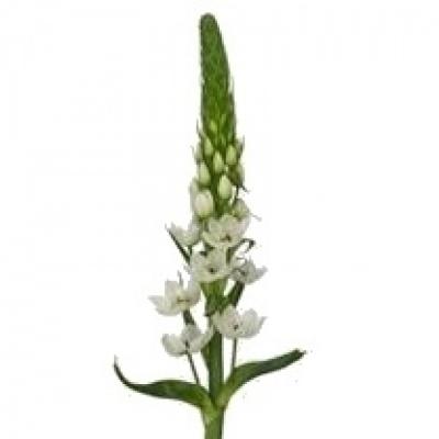 Snědek THYRSOIDES WHITE STAR 60cm