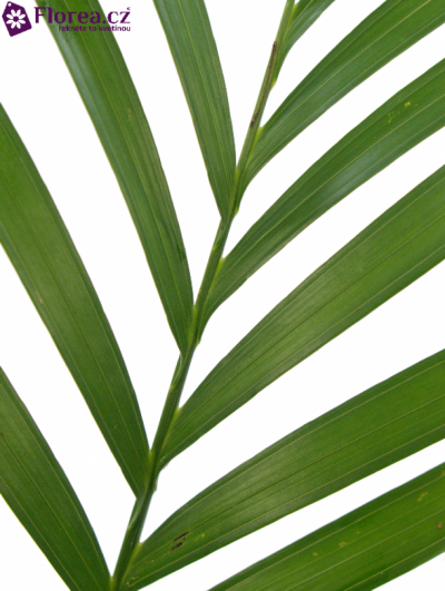 PALM CATPALM