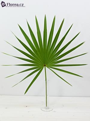 PALM CHAMAEROPS 60cm