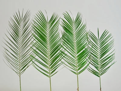 PALM PHOENIX ROEBELINII VACUUM 60cm