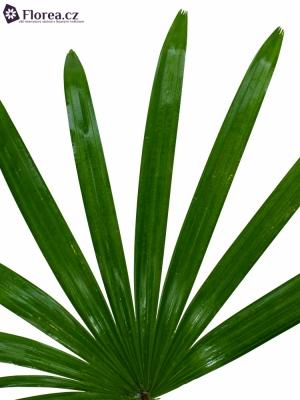 PALM RHAPIS 50cm