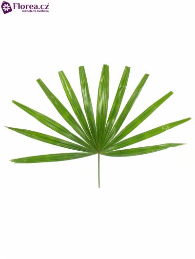 PALM RHAPIS CUTTED 50cm