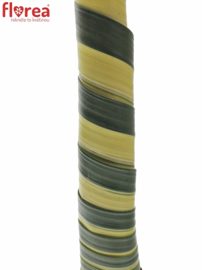 PANDANUS ROLL 50cm