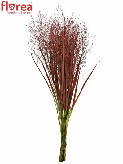 PANICUM FOUNTAIN RED 90cm