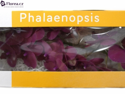 PHALAENOPSIS ANTHURA MONTE CARLO