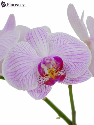 Orchidej SHANGHAI 25kv