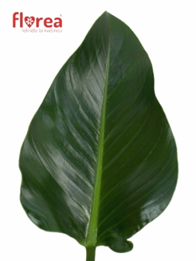 PHILODENDRON GREEN BEAUTY 60cm