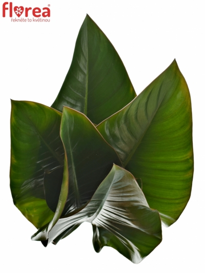 PHILODENDRON RED BEAUTY 60cm