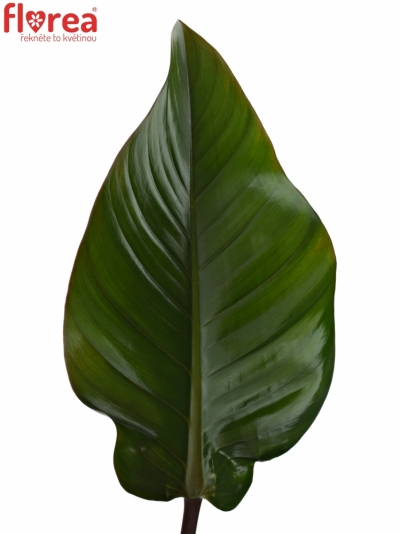 PHILODENDRON RED BEAUTY 70cm