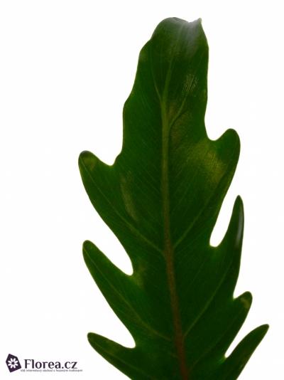 PHILODENDRON XANADU 45cm