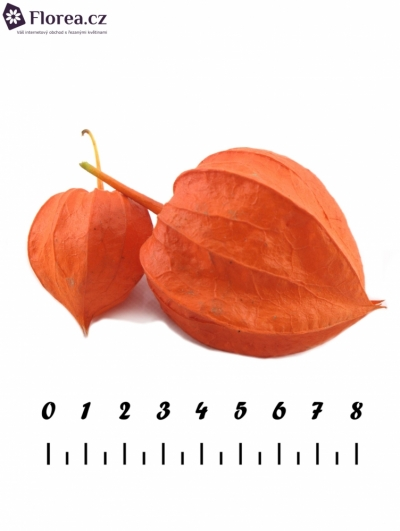 PHYSALIS LAMPION ON STEM 70cm