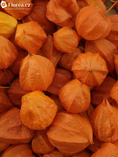 PHYSALIS LAMPION x100