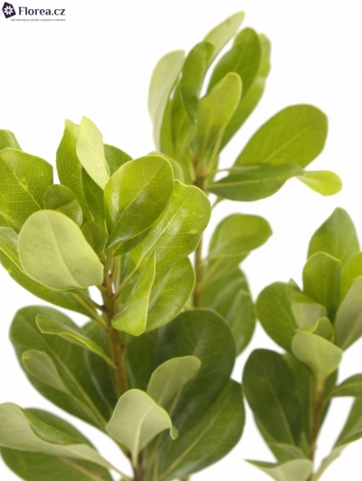 PITTOSPORUM NURIT 55cm