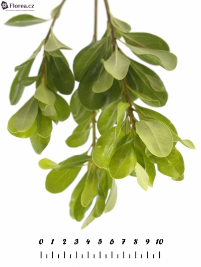 PITTOSPORUM NURIT 50cm