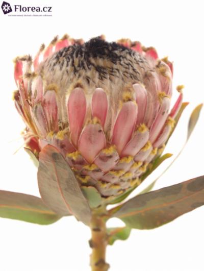 Protea BARBIGERA 35cm