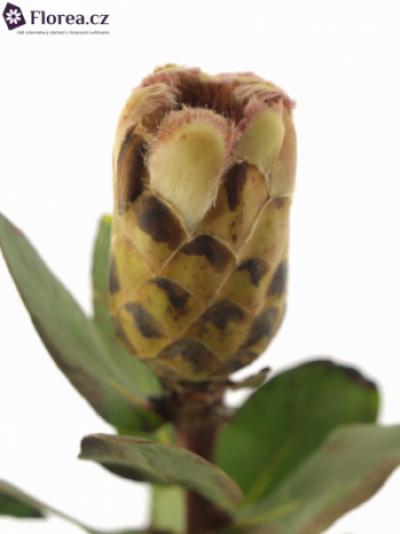 Protea GRANDICOLOR 30cm