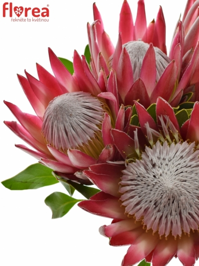 Protea MADIBA 40cm