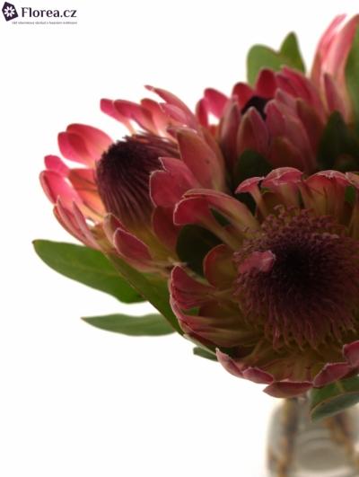 Protea SYLVIA
