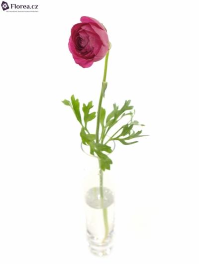 RANUNCULUS AZUR DEEP ROSE 28cm/20g