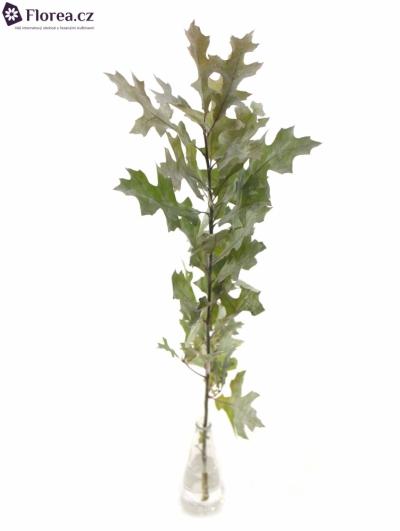 QUERCUS PALUSTRIS WHITE 80cm