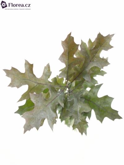 QUERCUS RUBRA WHITE 70cm