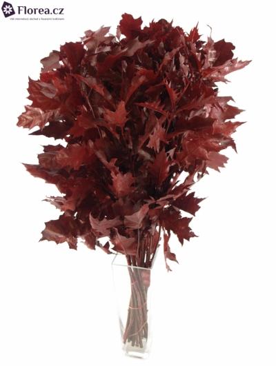 QUERCUS RUBRA RED 80cm