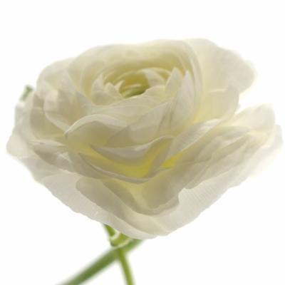 RANUNCULUS AMANDINE WHITE