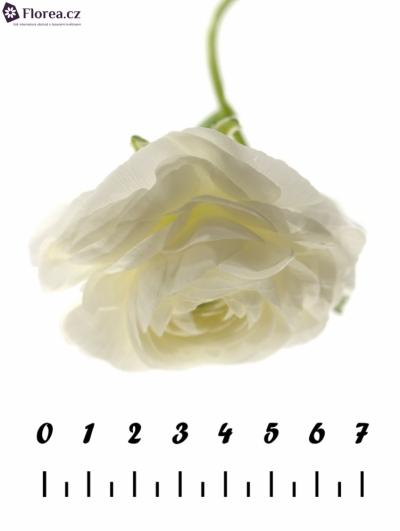 RANUNCULUS AMANDINE WHITE 30cm/15g