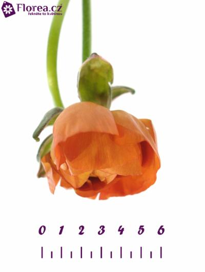 RANUNCULUS PAULINE ORANGE 20g