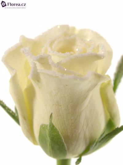 ROSA ALPE D´HUEZ FROST 60cm (M)