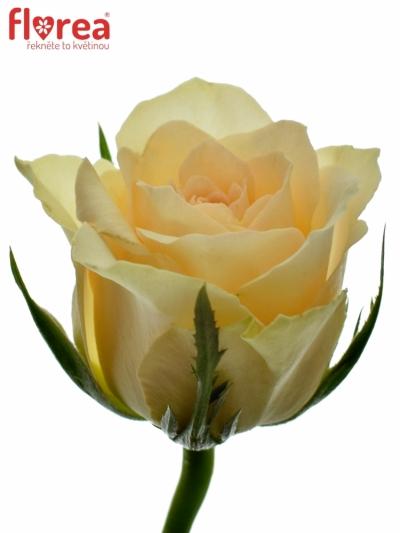 ROSA ANGELA 35cm (S)
