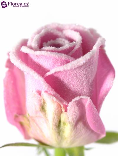 ROSA AQUA FROST 50cm (M) (R184)