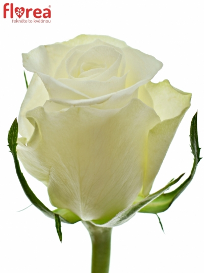 Bílá růže ASPEN! 50cm (S)