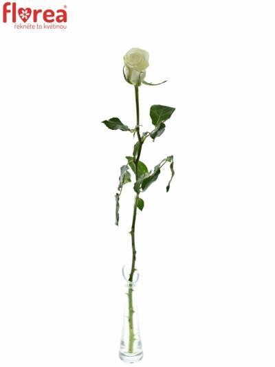 ROSA ASPEN! 70cm