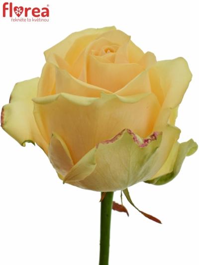 Meruňková růže AVALANCHE PEACH+ 90cm (XL)