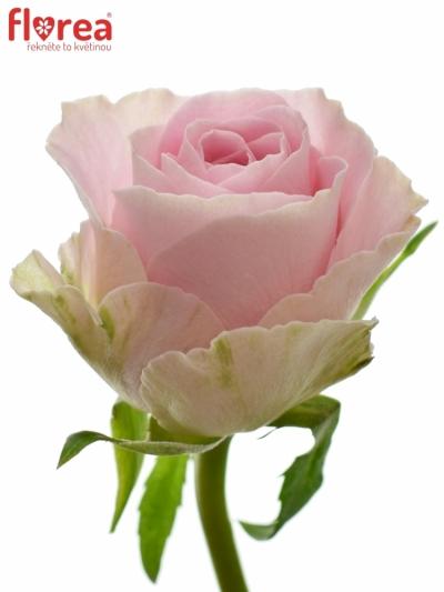 ROSA BABYFACE 50cm (S)