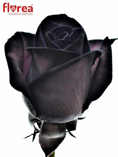 ROSA BLACK VENDELA 60cm - ČERNÁ RŮŽE (M)