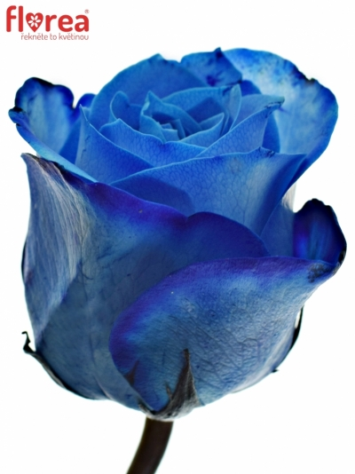 ROSA BLUE SNOWSTORM+ 50cm (M)