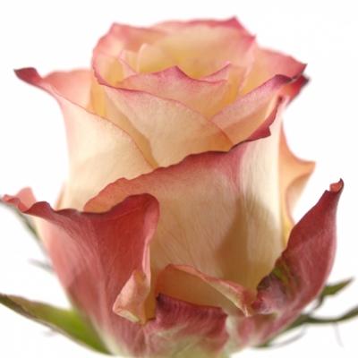 ROSA CABARET