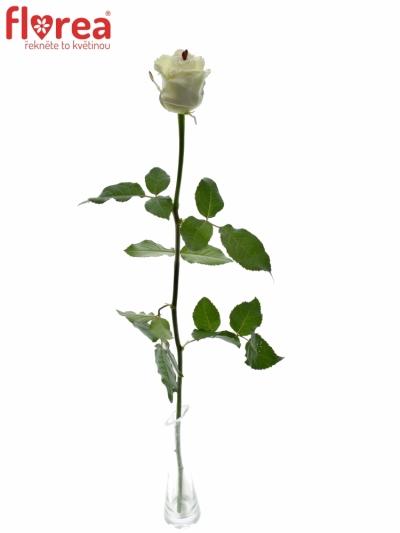 ROSA CHOCOLAT DREAM WHITE LOVE 60cm (R 317)