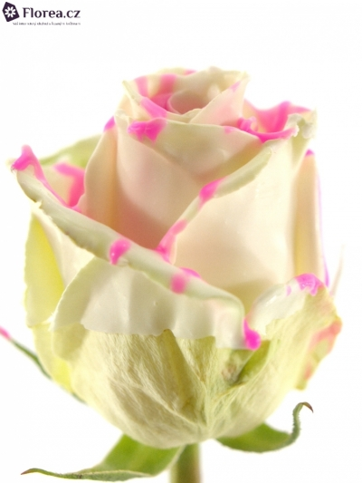 ROSA CHOCOLAT PINK STRIP WHITE 60cm (R 303)
