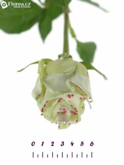 ROSA CHOCOLAT RED PEARL WHITE LOVE 60cm (L)
