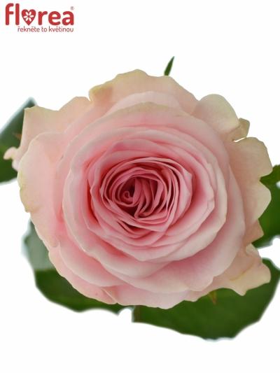 ROSA DUCHESSE 50cm (L)