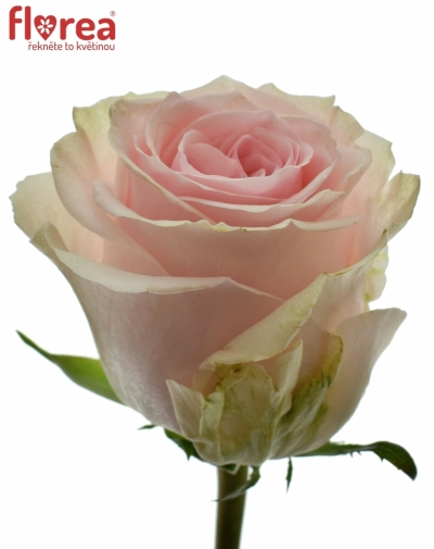 ROSA DUCHESSE 70cm (L)
