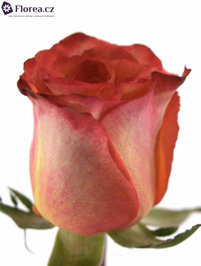 Oranžová růže HIGH & MAGIC ORANGE 90cm