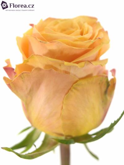 ROSA OLYMPUS@ 60cm