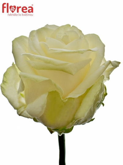 ROSA FOUR SEASONS+ 55cm (XL)