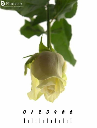 ROSA A1 50cm
