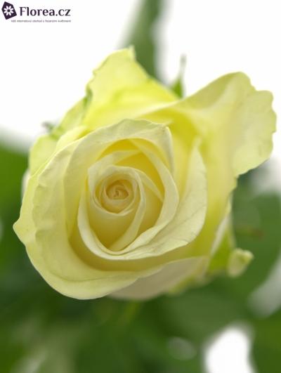 Bílá růže A1 50cm