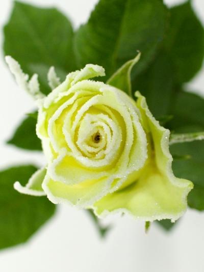 Bílá růže AKITO FROST 50cm